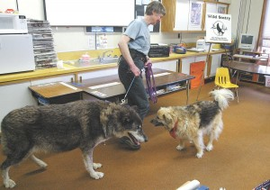 Pat Tucker of Wild Sentry leads Koani, the ambassador wolf, and Indy, her canine companion, into a classroom for a presentation. Photo Credit: Photo courtesy of Wild Sentry